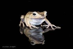 Borneo Eared Frog (Linda Martin Photography) Tags: dorset polypedatesotilophus wildlife bournemouth nature borneoearedfrog reptile canon5dmarklll uk coth alittlebeauty coth5 ngc