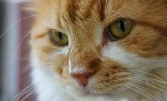 (Light Echoes) Tags: sony a6000 2016 winter cat chat kot gatto feline pet katze kat kalo  gato gate gat animal   koka   kass kissa   miv macska kucing  vighro kais kat qattus katten  pisica  maka katt  kedi   mo cath rescue longhair orange randall