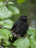 Petite corneille ** (Titole) Tags: corneille juvénile carrioncrow crow titole nicolefaton branches leaves green black unanimouswinner thechallengefactory