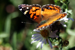 American painted lady (TJ Gehling) Tags: insect lepidoptera butterfly nymphalidae lady ladybutterfly paintedlady americanpaintedlady vanessa vanessavirginiensis plant flower asterales asteraceae aster pacificaster symphyotrichum symphyotrichumchilense asterchilensis canyontrailpark elcerrito