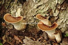 -mushrooms (Fungi) (Herman Bresser:) Tags: fungi mushroom mold decay tubular treetrunk