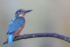 Kingfisher, young Male (eric-d at gmx.net) Tags: kingfisher eisvogel alcedinidae alcedoatthis ericdgmxnet eric