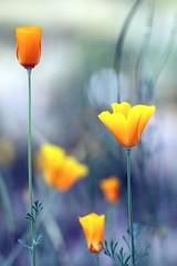 Gold Poppy / California Poppy (Mah Nava) Tags: yellow gelb goldpoppy californiapoppy poppy