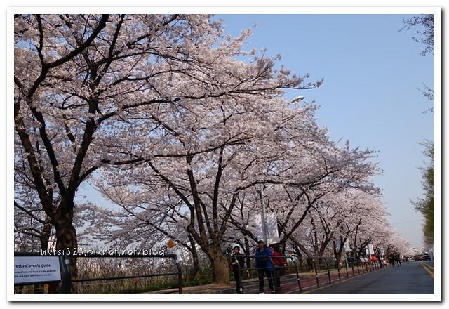 여의도벚꽃08