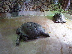 LES TORTUES DES SEYCHELLES (marsupilami92) Tags: paris france animal zoo frankreich ledefrance capitale 75 tortue menagerie jardindesplantes 5emearrondissement