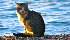 Turkish photo shooting at the beach 1 (PULLKATT I'M BACK) Tags: cats beach animal animals cat canon turkey chats chat trkiye kitty playa turquie animales animaux plage animale izmir canonpowershot photoshooting izmirturkey catlover beautifulcat beautifulcats canonphotography photographycanon catslover canonpowershotsx catslovers turkeytourism photographiecanon amourdechat canonpowershotsx50hs canonpowershotsx50 pullkatt amoureuxdeschats pullkattphotography discoverturkey turkishphotoshooting drivingturkey izmirturquie discoverizmir drivingizmir