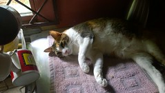 WP_20150330_11_47_28_Pro (globewriter) Tags: cat trinidad resting nibbler windowsphone lumia1020