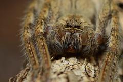 Brown and Hairy (Leela Channer) Tags: africa hairy brown macro cute nature animal closeup spider scary branch kenya arachnid bark twig fangs creature eightlegs arthropod eightlegged eighteyes eighteyed
