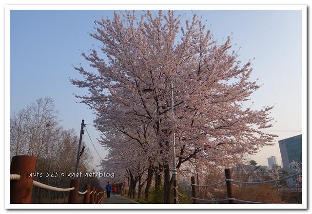 양재천벚꽃04