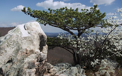 Rock, Pine, and Blooming Tree (Vladimir Grablev) Tags: morning trees mountains tourism nature rock pine virginia rocks elizabeth fort hiking hike trail valley appalachian buzzard furnace shenandoah elevation massanutten