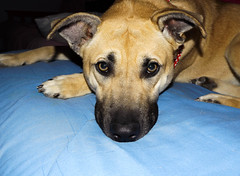 DSCF0075.jpg (breezymorse) Tags: dog pet mix vermont calendar adorable pitbull newhaven bedtime germanshepard csc koda bremorse