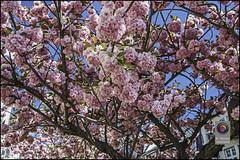 Bonn-Kirschbluete-2 (kurvenalbn) Tags: deutschland bonn pflanzen blumen nordrheinwestfalen frhling kirschbluete