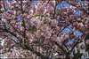Bonn-Kirschbluete-2 (kurvenalbn) Tags: deutschland bonn pflanzen blumen nordrheinwestfalen frühling kirschbluete