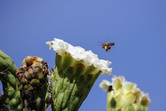 Bees and saguaro. (Mike's Mode (Miguel H.)) Tags: california abejas bees saguaro
