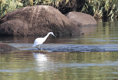 Birds of the nile-9 (osamaalipl) Tags: naturaleza bird nature water beautiful beauty birds rock reflections river agua rocks colorful egypt nile granite egipto riverbank aswan egret pjaro  reflexiones nilo granito hardlight   garceta     osamaali