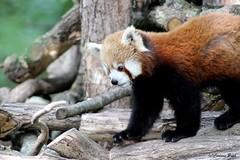 Petit panda (Passion Animaux & Photos) Tags: red female panda parc roux petit saintecroix femelle ailurus fulgens