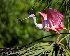 Spoonbill with Nesting Material (Michael Pancier Photography) Tags: pink green birds us unitedstates florida bokeh staugustine spoonbill pinkbirds roseatespoonbill spoonie travelphotography saintaugustine birdphotography alligatorfarm commercialphotography naturephotographer editorialphotography nestingmaterial michaelpancier michaelpancierphotography avianphotography landscapephotographer avianphotographer fineartphotographer michaelapancier alligatorfarmzoologicalpark wwwmichaelpancierphotographycom