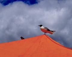 DSC02155 (Jori Samonen) Tags: blue sky birds clouds finland square helsinki market gull sparrow blackheaded