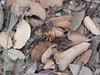 P1030896 (Dr Zoidberg) Tags: hormigas escarabajo zuiko50mmmacro