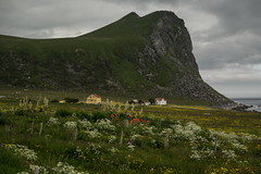 Flower Meadow (g_heyde) Tags: flowers norway meadow sl lofoten myrland flakstadya