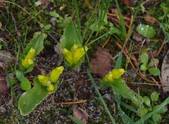 Lachenalia reflexa, Bibra Lake, Perth, WA, 03/07/16 (Russell Cumming) Tags: plant weed perth westernaustralia lachenalia bibralake asparagaceae lachenaliareflexa