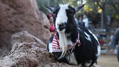 Goat Eating at Big Thunder Ranch (Sam Howzit) Tags: california video eating goat frontierland disneylandresort disneylandpark bigthunderranch