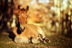 Spirit (Japo García) Tags: potro caballo paisaje otoño retrato animal mamífero horse hierba tumbado fotografía japogarcía retoquefotográfico