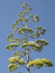 Century Plant Flowers (Bitrat) Tags: centuryplant agave