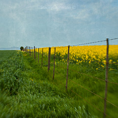 canola fence (stacey catherine) Tags: canolafence square farmland countryside texture layers green yellow blue painterly fence bird tree lensbaby