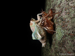 Graptopsaltria nigrofuscata (Shiori Hosomi) Tags: 2016 july japan tokyo 23  insects entomon      auchenorrhyncha homoptera cicadidae        graptopsaltria