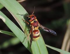 Potter wasp (Bryan - oz4caster) Tags: potterwasp euodyneruspratensis