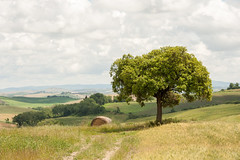 tree in the field (i_am_a_human) Tags: italien italy tree field spring tuscany rollinghills toskana frhjahr