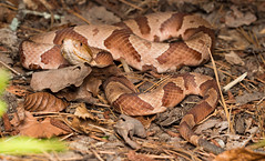 Copperhead (commercialam3n) Tags: macro nature zeiss canon rebel reptile snake snakes herpetology copperhead t5i