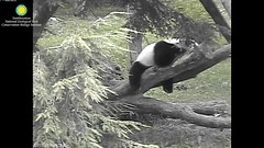 2016_07-15l (gkoo19681) Tags: nationalzoo dangling meixiang beibei lovenibbles ccncby