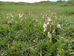 Epipactis palustris (Marsh helleborine) (rockwolf) Tags: sea orchid wales coast sand flora dunes coastal wildflowers damp anglesey epipactispalustris rockwolf bogpimpernel newboroughwarren marshhelleborine anagallistenella