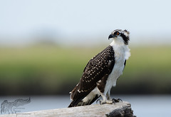 Osprey Fledgling 7_25 1 (krisinct- Thanks for 12 Million views!) Tags: nikon d500 500 f4 vr g