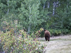 A Brown Black Bear (Craig Tata) Tags: animals bears blackbear nature nationalparks glacier glaciernationalpark gnp