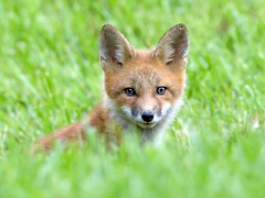 Red Fox (Steve Gifford - IN) Tags: 2016 hilook proposal lens cloth steve steven gifford haubstadt indiana