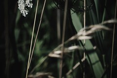 (jean_pichot1) Tags: weeds petals edge close plant shade green contrast light side focus bright dark stems flower leaves grass