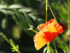 Mak Kwiaty Blumen Flowers (arjuna_zbycho) Tags: pflanze kwiaty blumen flowers mak maki makpolny czerwonemaki kwiatypolne mohn mohnblumen coquelicots pavots popyflower popy klatschmohn papaverrhoeas mohnblume klatschrose cornpoppy cornrose fieldpoppy flanderspoppy redpoppy redweed kznsgespipacs vetsipipacs papaverocomune rosolaccio gatunekleczniczy heilpflanze hausmittel kwiat blume flower fleur popies fleurs natur flora