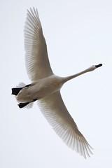 DSC_1335 (KevinYMa) Tags: bird nature tundraswan