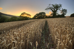 Getting the Low Down (rmrayner) Tags: hdr wheat farming cereals devon landscape countryside rural pointofview lowdown agriculture