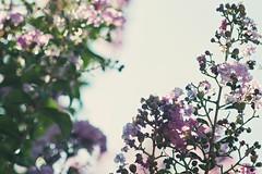 Fiori bresciani a ferragosto. (andreabotti567) Tags: fujifilmxe1 primotar 135mm meyer f 35 pinkfilter
