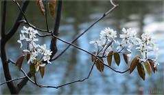 Haku (nathaliedunaigre) Tags: spring printemps remember souvenir fleurs flowers cerisier nature