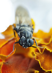 Avispa (mamd_) Tags: canon eosrebelt5 eos1200d macro macrofotografa macroextremo insecto naturaleza animal vida ojos acercamiento micronikkor 55mmf28 micronikkor55mmf28 nikkor pk13 avispa alas patasblancas flor pose