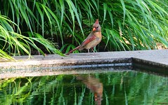 She Looks Pissed (Harry Lipson) Tags: shelookspissed cardinal redbird red feathers winged tuft tufted female cardinale water reflection nature avian harrylipson harrylipsoniii