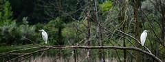 You Watch That Way; I'll Watch This Way (smfmi) Tags: egrets birds michigan midlandcounty pentax ks2 pentaxks2 frohm justpentax pentaxlife