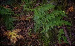 Ferns (RiverBearPhoto) Tags: canada british columbia campbell river vancouver island elk falls provincial park canyon view trail fern green