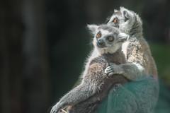 Lemurs' Hug (ruimc77) Tags: nikon d810 nikkor af 300mm f4 ifed zoo zoologico zologico chapultepec cuidad mxico mexico city df distrito federal cdmx lemur lemures hug abrazo abrao animal life vida