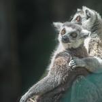 Lemurs' Hug thumbnail